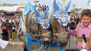 Horses at the Oktoberfest celebrations on tour in Alpine Europe