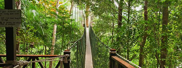 Do the canopy walk in Taman Nagara, Malaysia