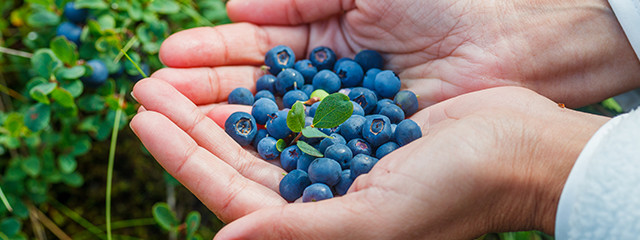 Go berry picking in Iceland