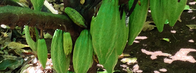 Cocoa pods in Hawaii