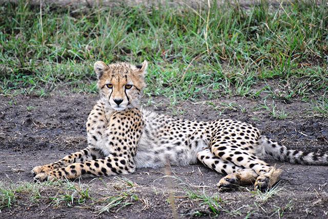 Denise spots a cheetah on her Kenya Wildlife Safari