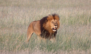 A lion spotted on our Kenya Wildlife Safari