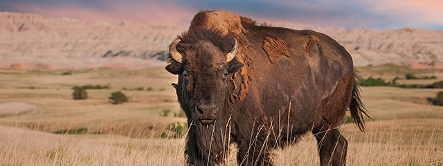 Spot wildlife at Badlands National Park