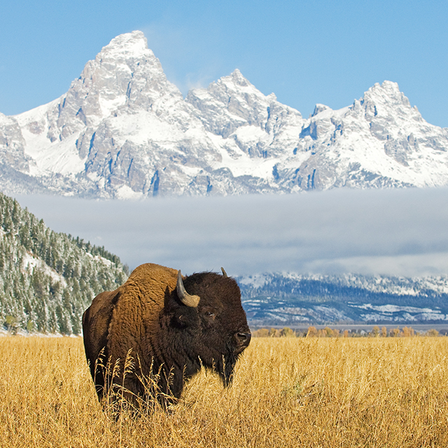 Where to find American Bison