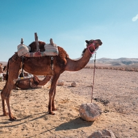 Camels in the Bedouin village of Kfar Hanokdim