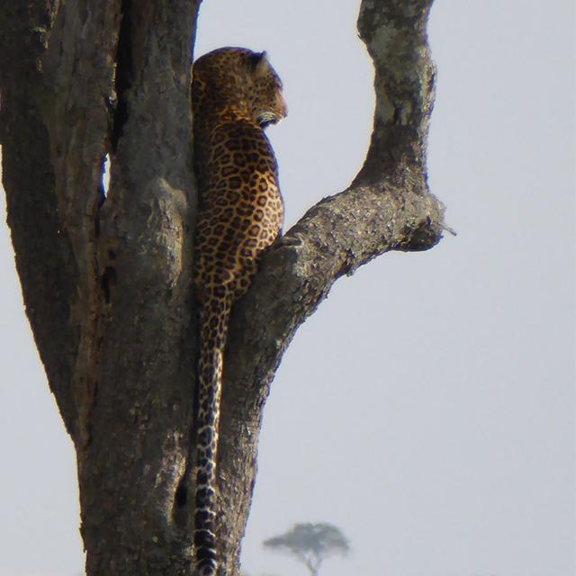 leopard-safari_640x640