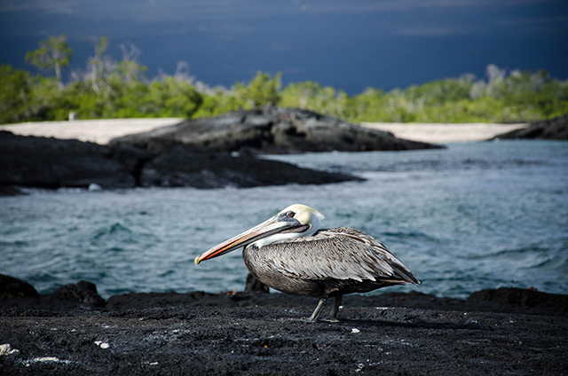 Pelican in the Galapagos Islands