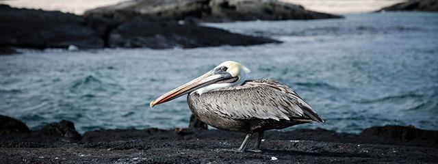 Galapagos Island pelican