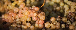 Time to toast: Wine harvest is here