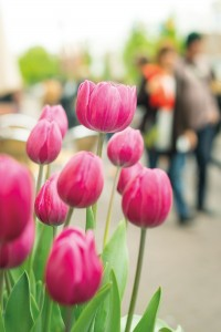 Tulips, Amsterdam's signature flower