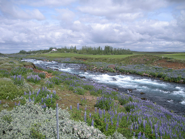 Lupins cover much of Iceland