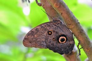 Butterfly from Amazon, Brazil.