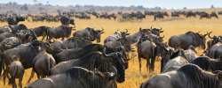 Safari Travel Tip: The importance of the wildebeest migration