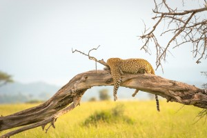 A leopard lounging in the Serengeti