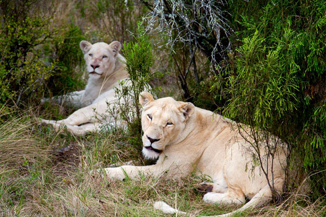 Pumba Game Reserve Lions