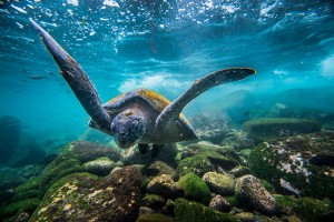 A turtle says hello in the Galápagos