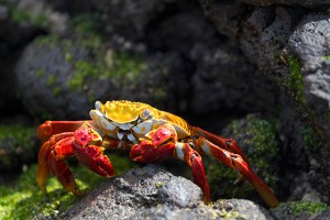 The vibrant yellow and orange shell of a Sally Lightfoot crab