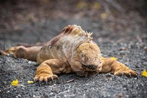 A land iguana catching some rays