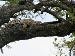 Kruger Leopard in tree