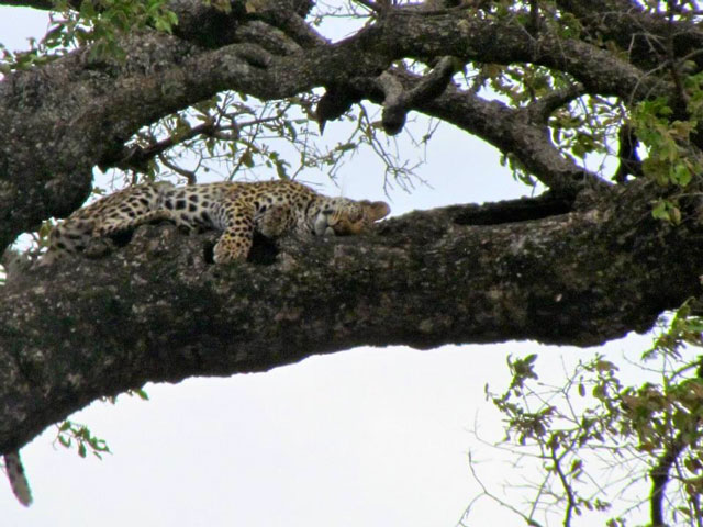 Kruger Leopard in tree