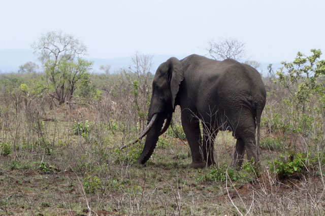 Old elephant at Kruger National Park