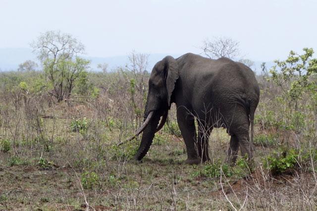 Old elephant at Kruger National Park