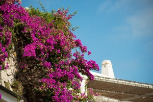 Vibrant blossoms add a splash of pink to Capri's palette of blues and greens