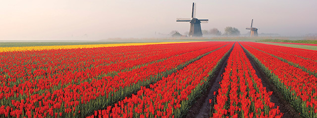 Tulips_feature