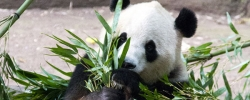 Follow Christine on Tour: Day 8 – Meeting the pandas of Chongqing