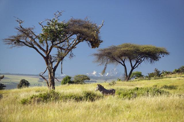 Grevy's zebra at Lewa Conservancy, Kenya