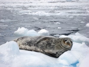 Seal in Antarctica