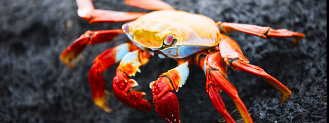 A Sally Lightfoot crab on the Galápagos Islands.