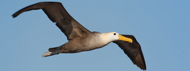 Waved albatross flying above the Galápagos Islands.