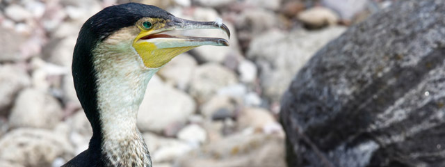 A flightless cormorant on the Galápagos Islands.