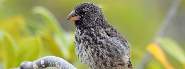 Darwin's Finches on the Galápagos Islands.