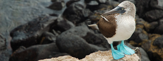 A blue-footed boobie on the Galápagos Islands.