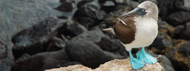 A blue-footed boobie on the Galápagos Islands.