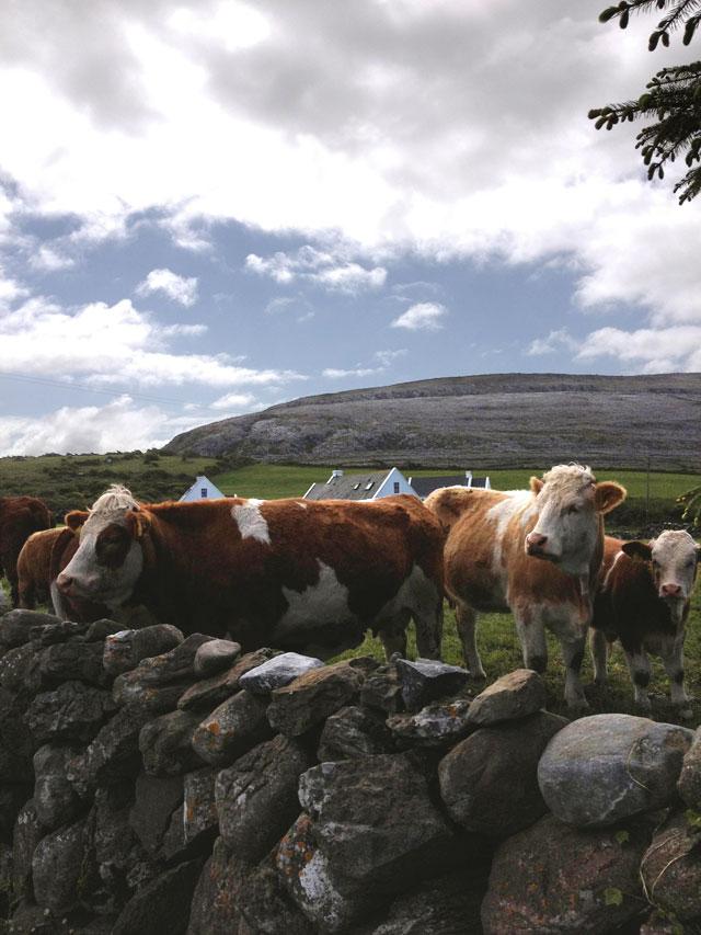 Grazing cattle help maintain the Burren landscape