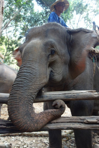 Elephant in Chiang Mai, Thailand