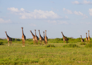 Giraffes on safari in Kenya, Africa