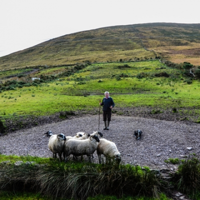 Shepherd and his sheep along the Ring of Kerry, Ireland