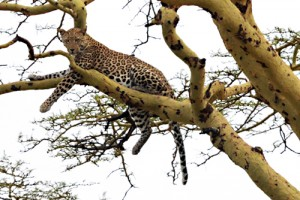 Leopard, Serengeti, Kenya