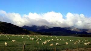 Sheep of Five Rivers Farming Region, New Zealand