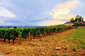 A vineyard in Burgundy