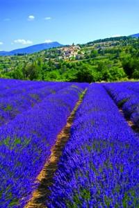 Lavendar field in Provence, France