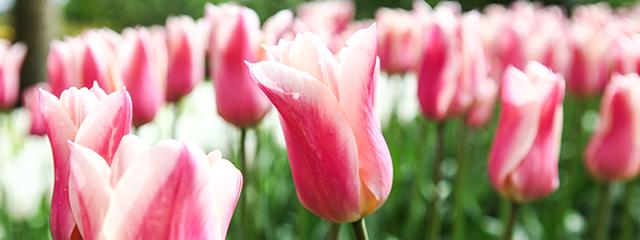Tulips in Keukenhof Gardens Amsterdam