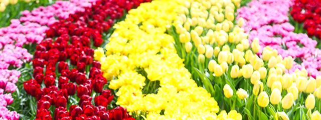 Rows of tulips at Keukenhof Gardens outside Amsterdam