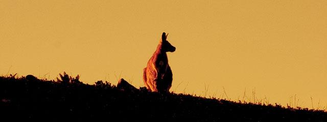 A kangaroo in Australia