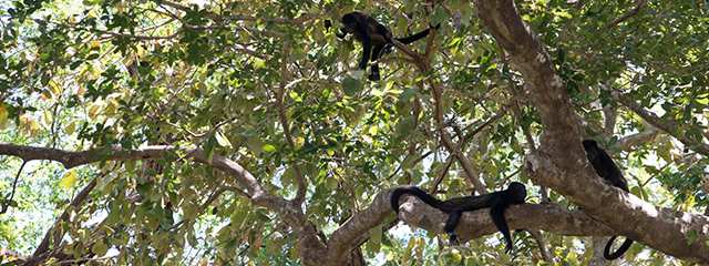 spider_monkeys_costa_rica
