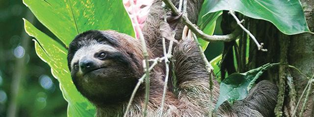 sloth_costa_rica